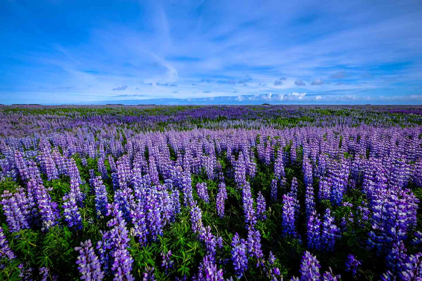 Blue sky with rolling fields of purple and blue flowers