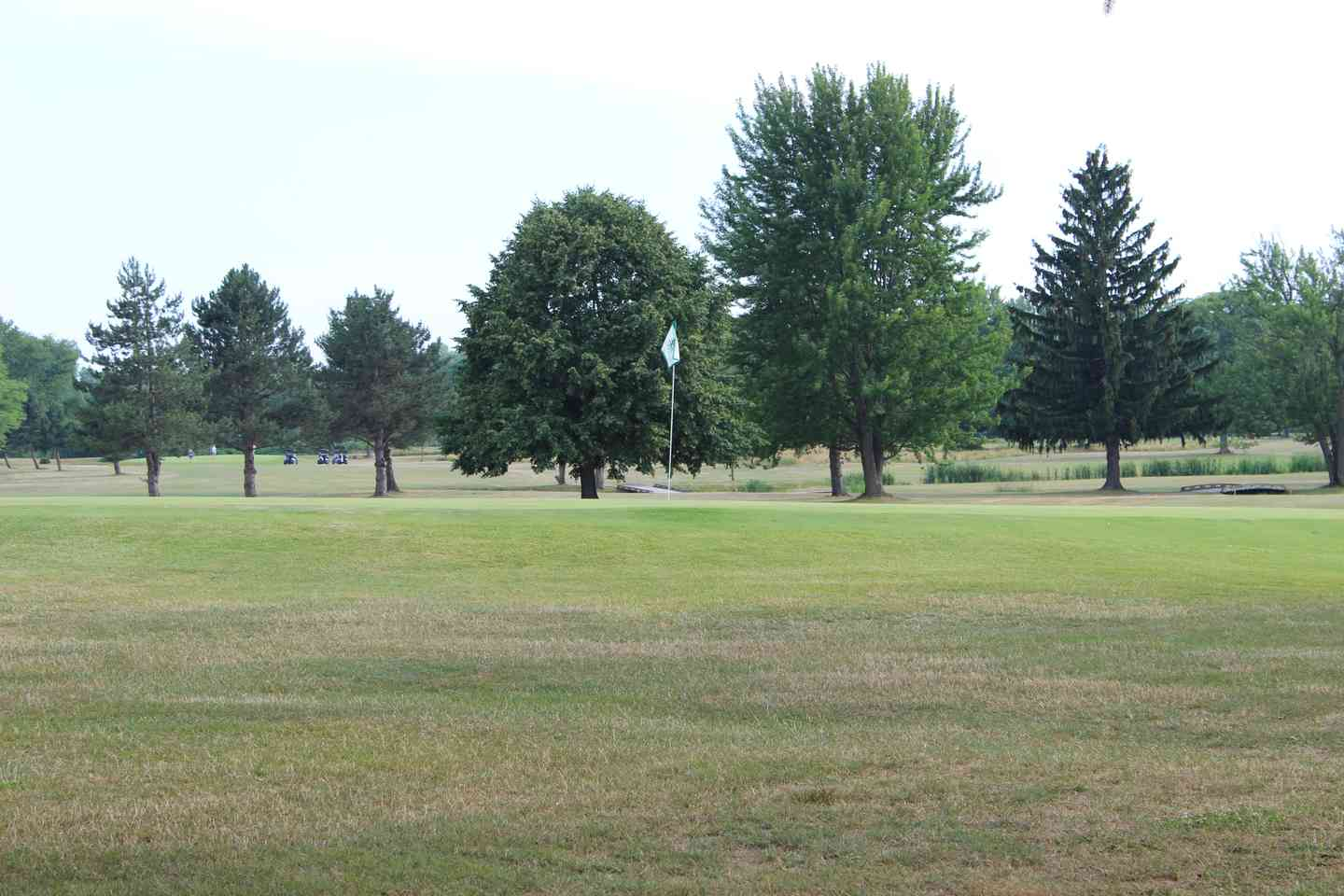 Pine trees on the edge of the golf course
