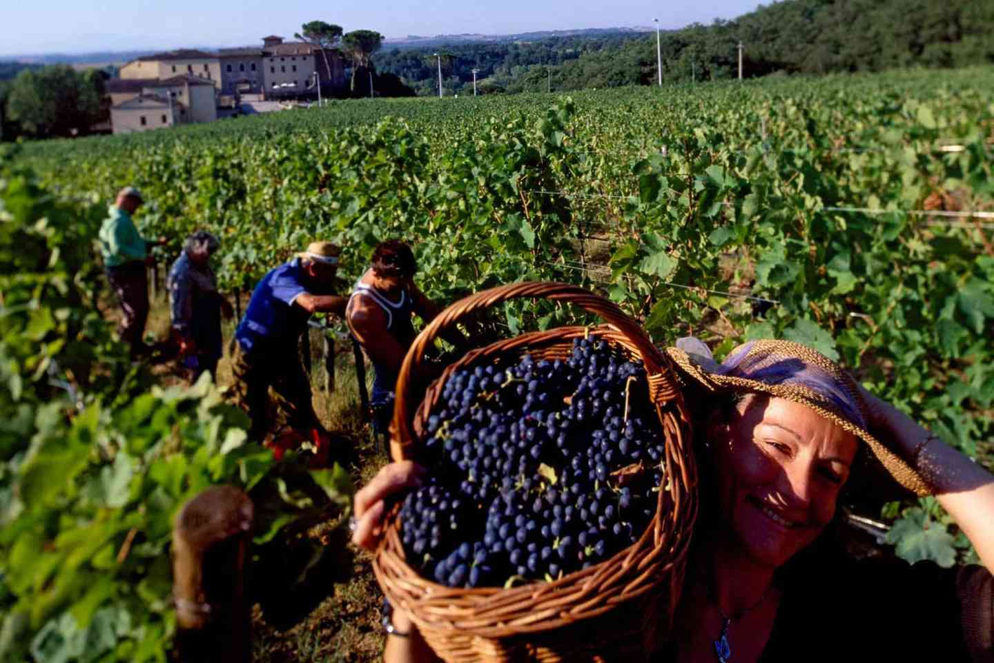 picking grapes in the field