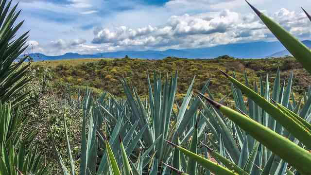 mezcal fields