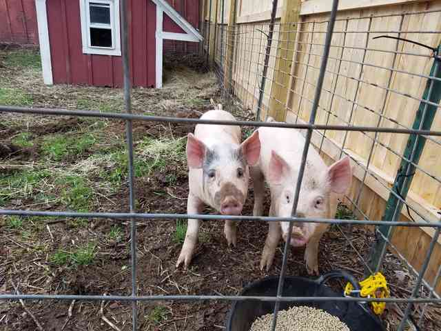 photo of two pigs