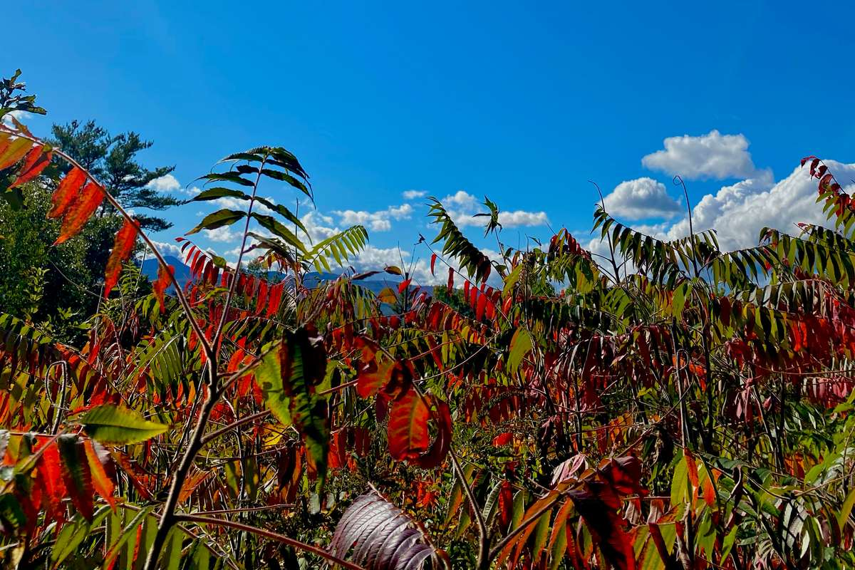 Close up view of red and green foilage with a blue sky in the background