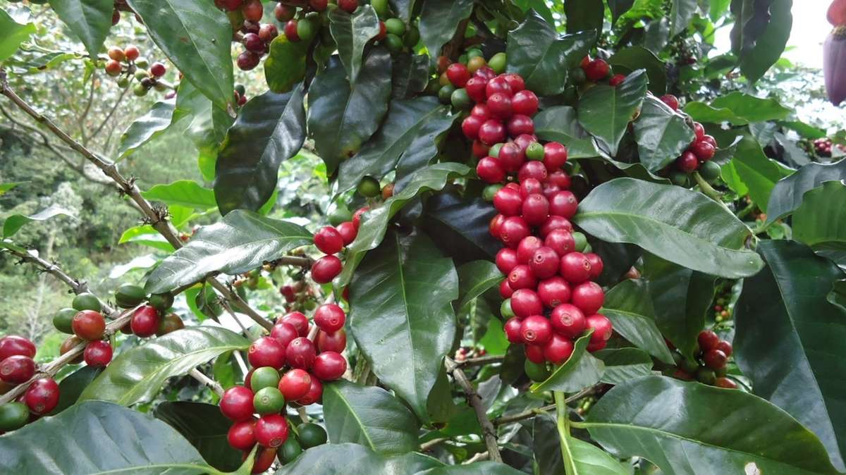 branches of ripe deep red coffee cherries and dark green glossy leaves