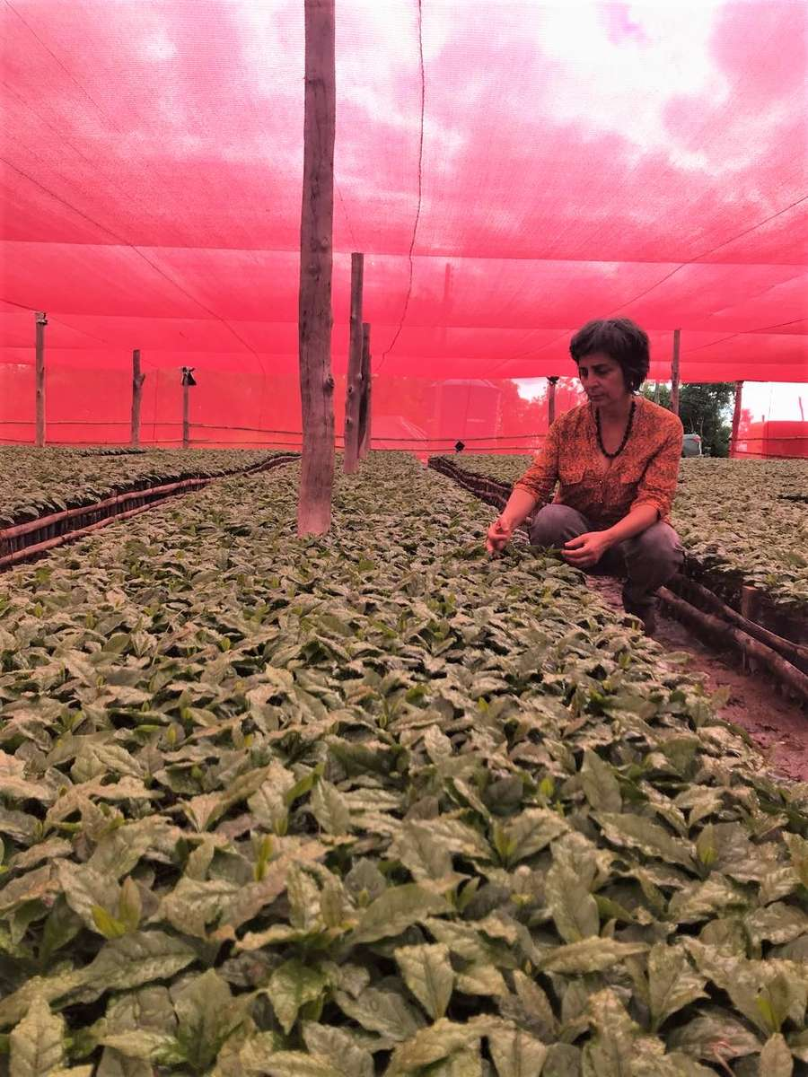 Miriam checks young coffee plants in the shade of red canopies.