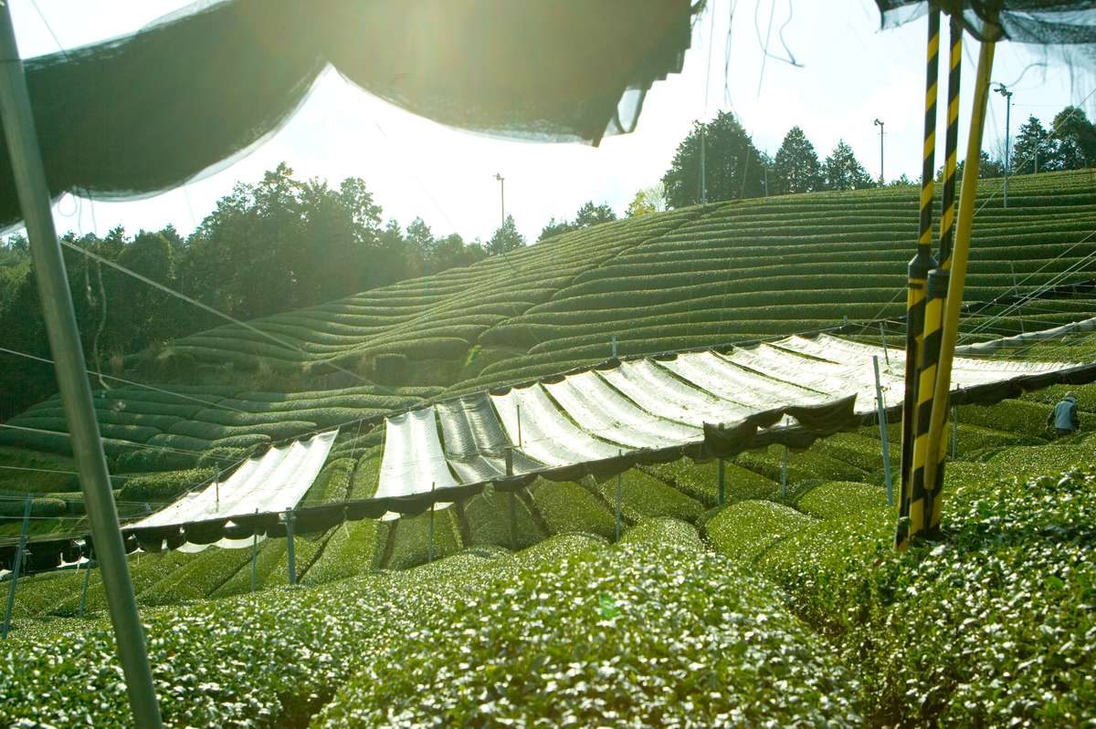 Rows of tea plants are shaded by canopies