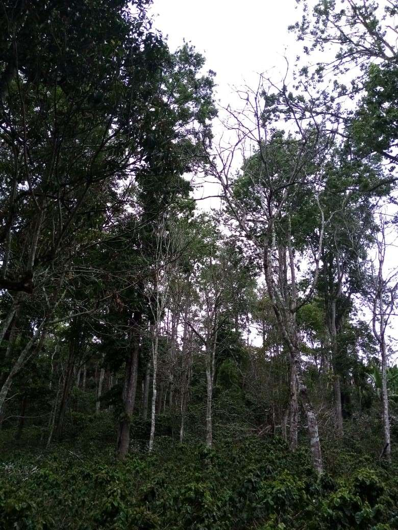 More coffee trees shaded by larger indigenous trees