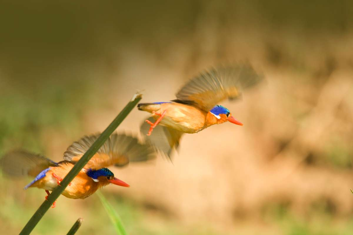Close-up of brightly colored birds midflight in a jungle.