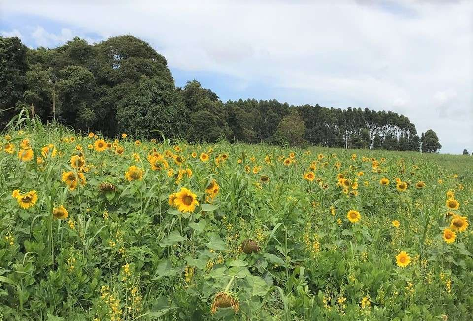 Sunflowers planted to increase the life of land and soil at Fazenda Cachoeira