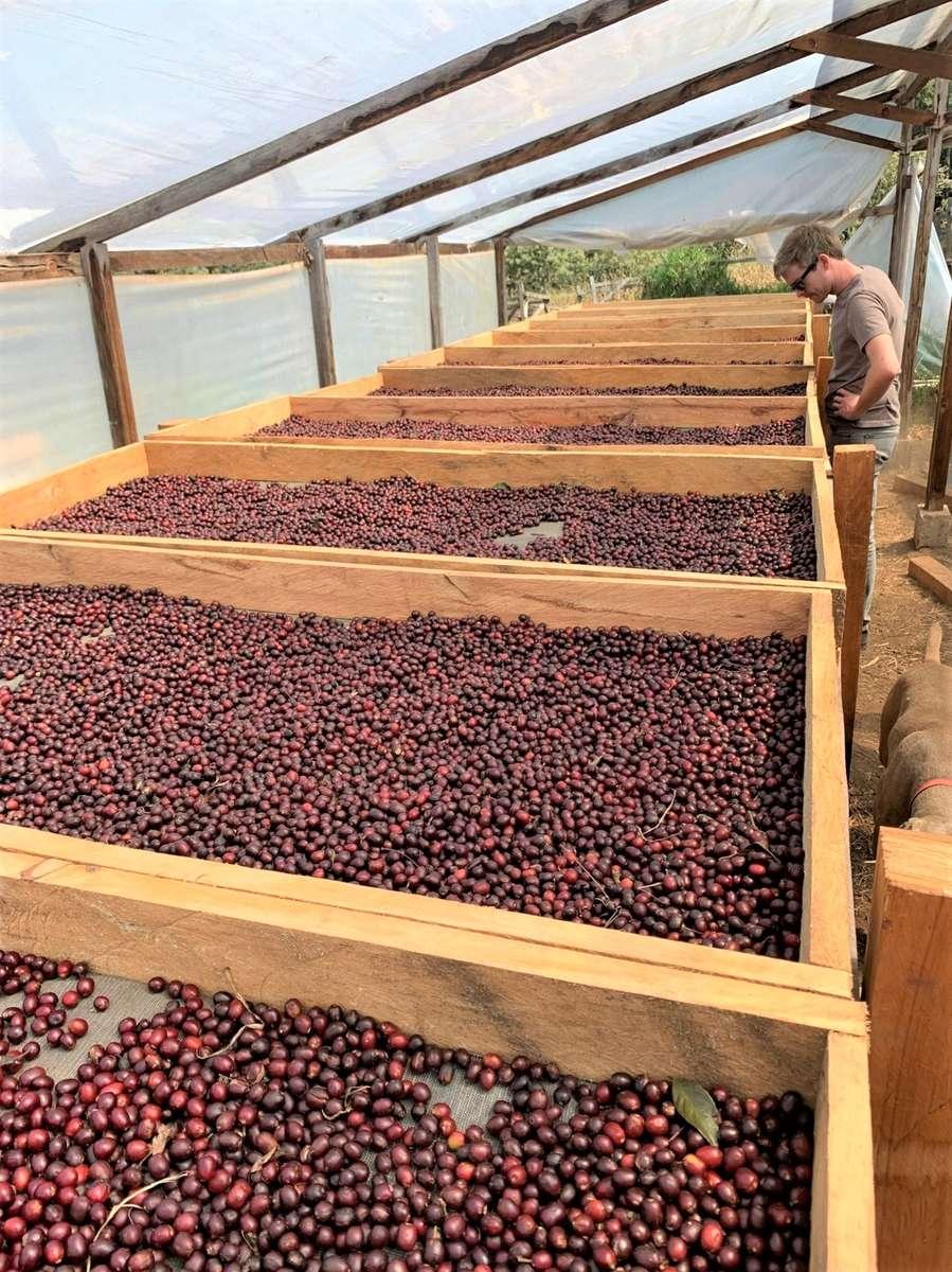 Raised sun-drying beds full of hand-picked, mature, dark red coffee cherries.