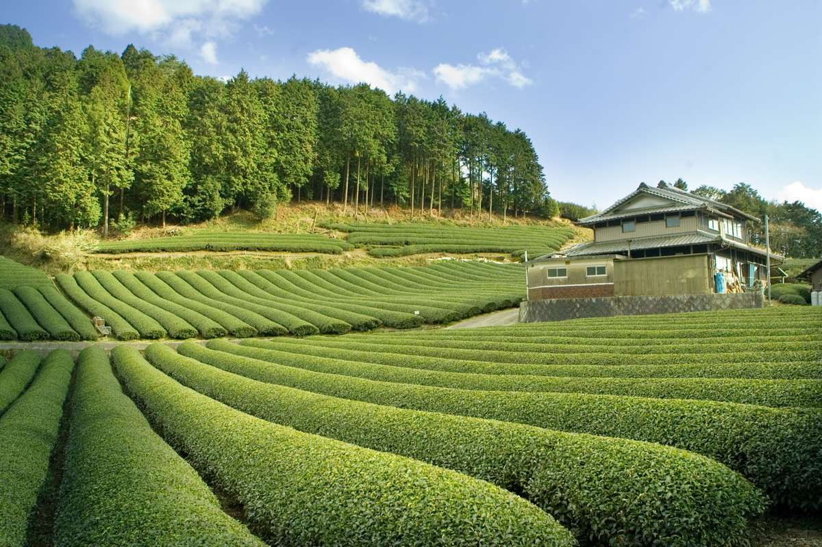 rolling hills of tea farm in Japan