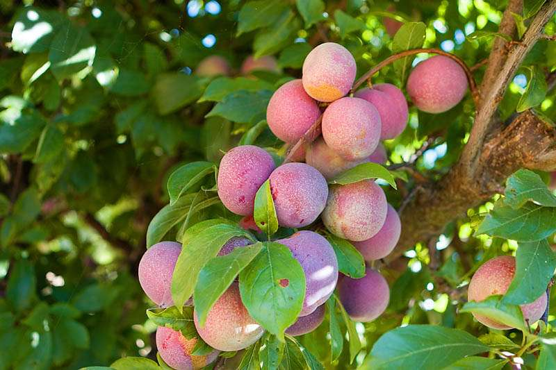 Ripe plums hanging on a tree branch