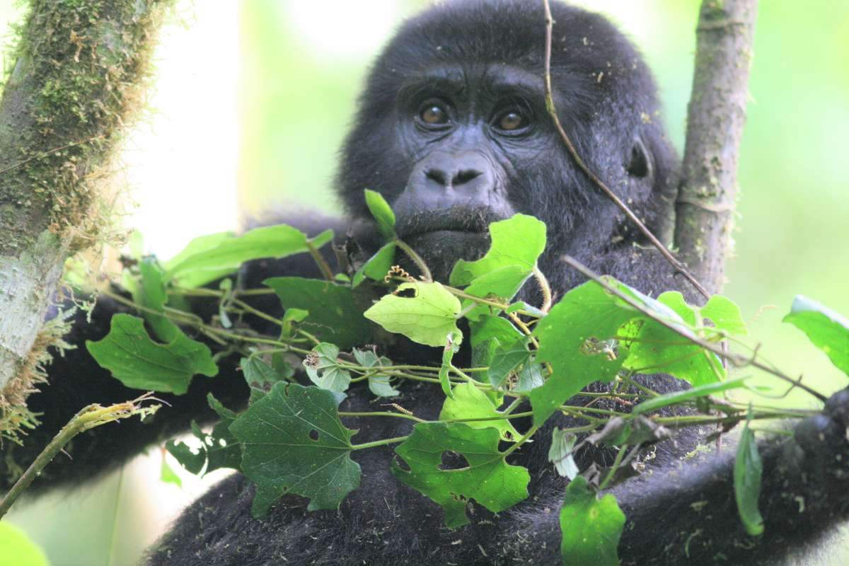 Closeup of young Mountain Gorilla sitting among tree branches