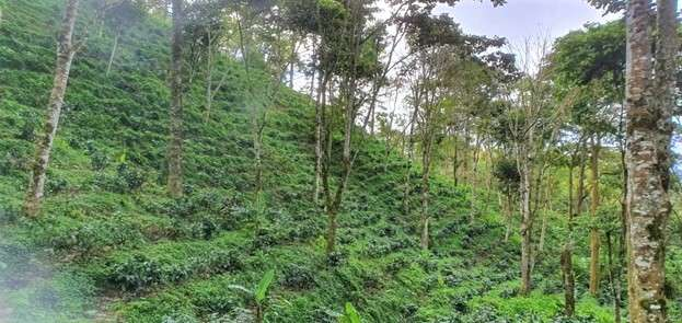Hillside terrace of coffee trees shaded by larger indigenous trees