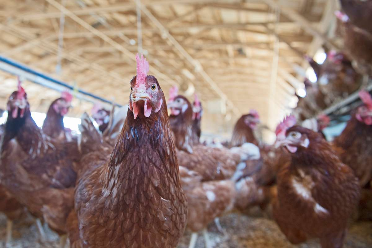 Red hens shown in large egg farm henhouse