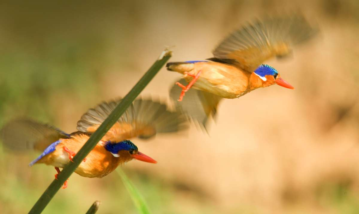 Two brightly colored birds take flight in the jungle