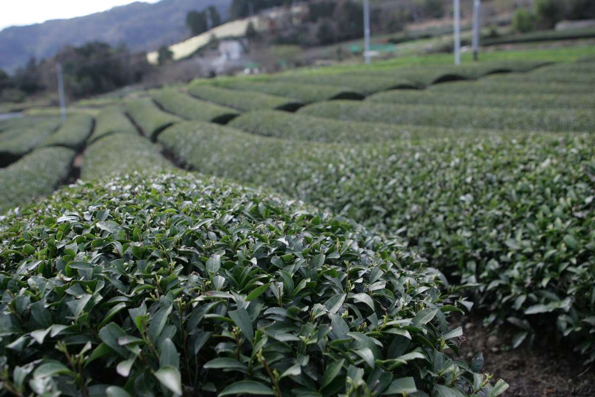 Close up of rows of tea plants