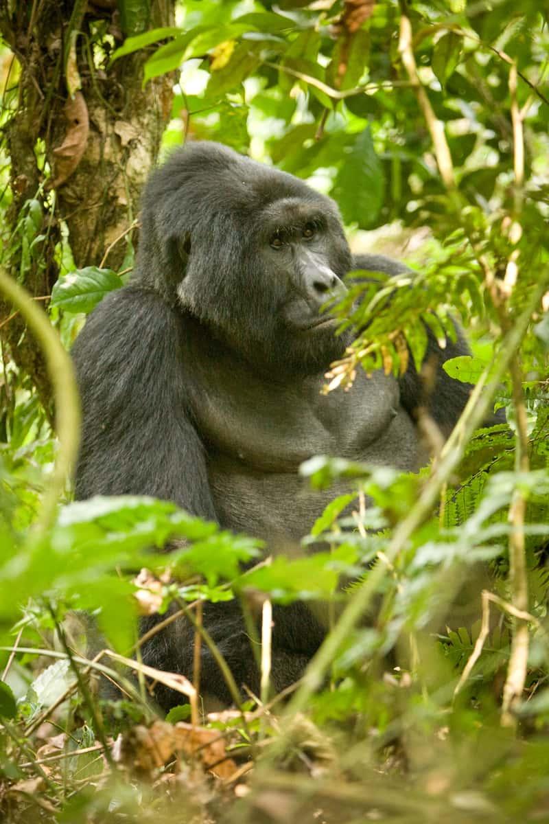 Male gorilla in the jungle