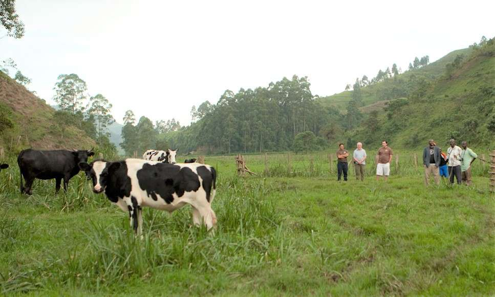Cattle in a pasture with Nigerian farmers looking on.