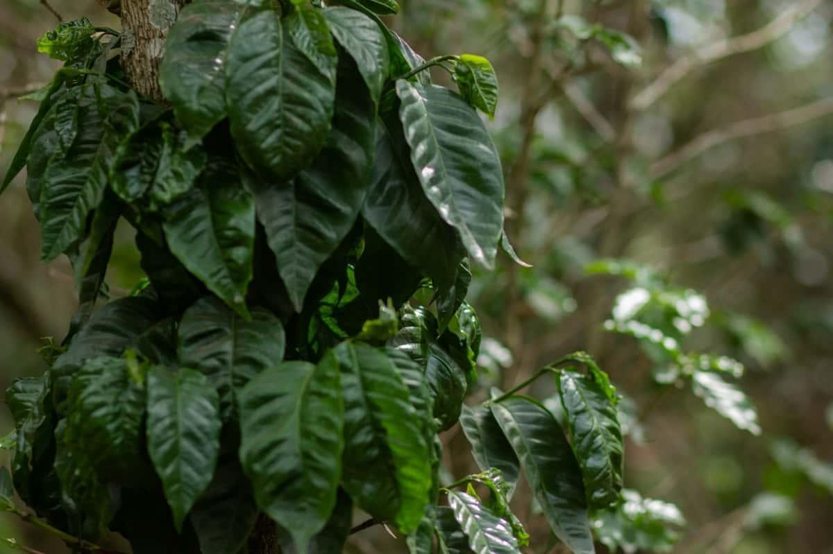 Glossy green leaves of coffee tree