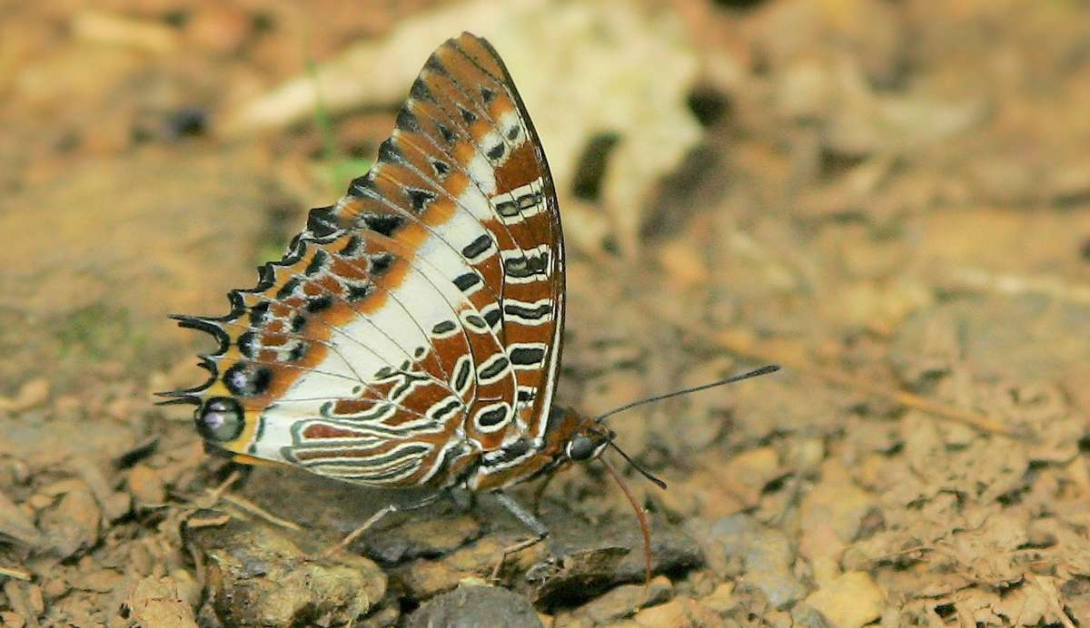 Brown patterned jungle butterfly on the ground