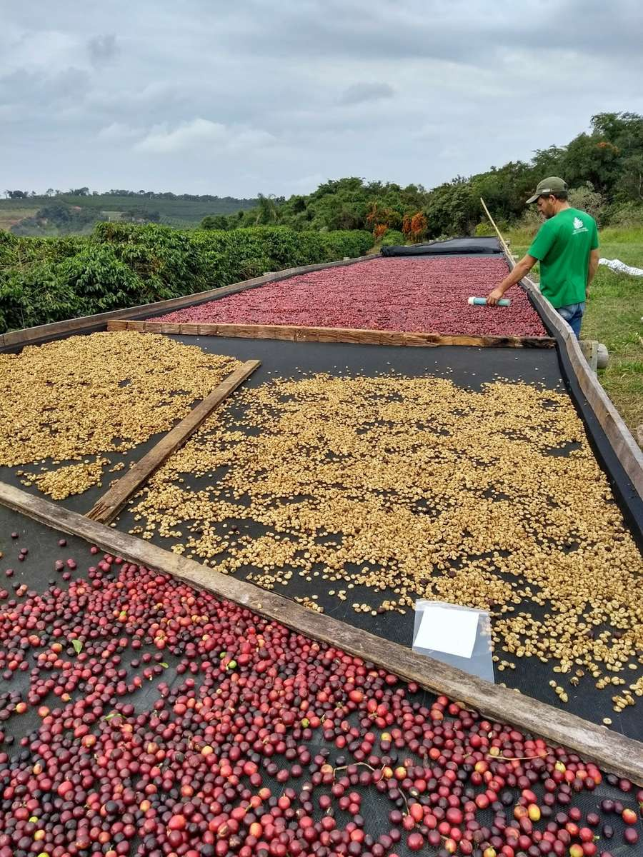 Worker spreads coffee cherry fruit out on drying bed.