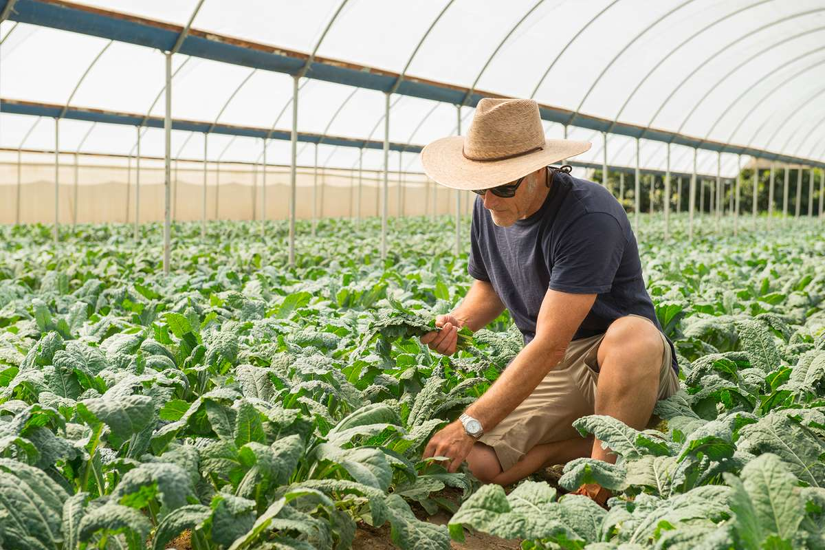 Man with hat inspecting lettuces in a field with an arched white sunscreen overhead