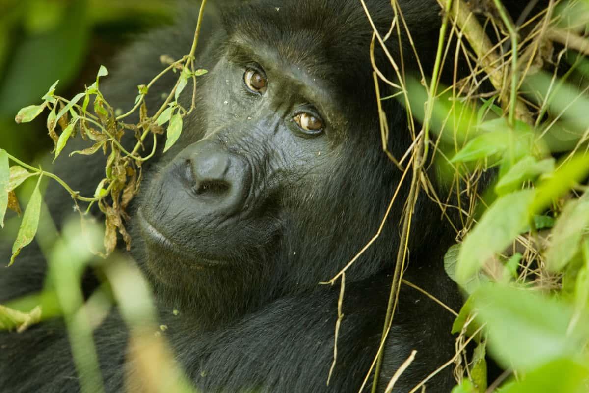 Close up of Mountain Gorilla looking at photographer