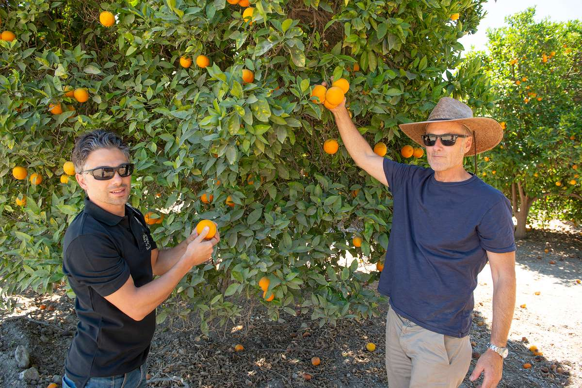 Kenter Canyon farmer and Urth Chef Davide showing oranges on tree and picking fruit