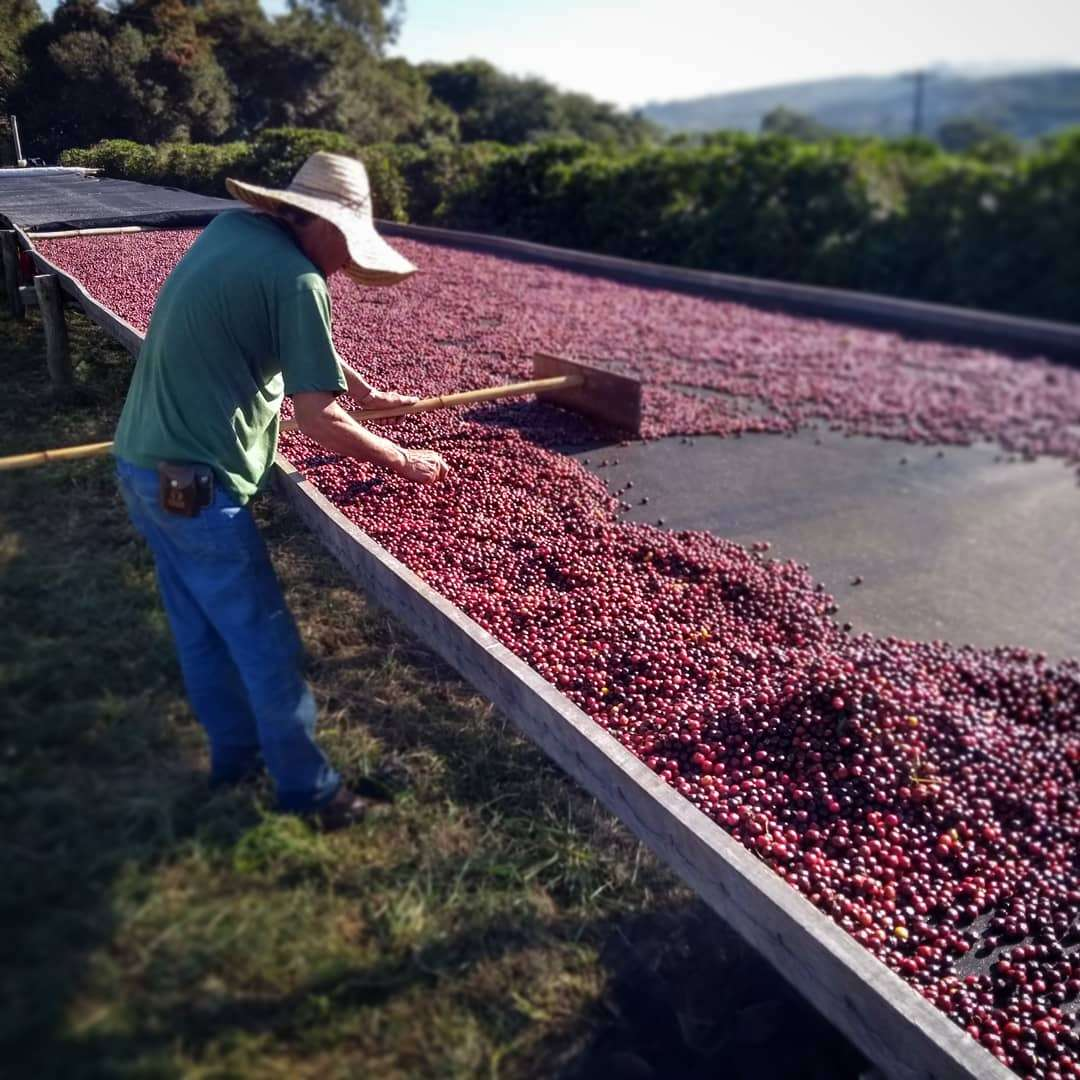 Coffee cherry fruit are spread out to dry on an African bed at Fazenda Cachoeira