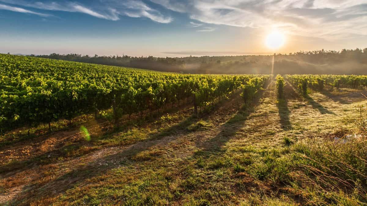 grapes field