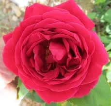 RI red rose