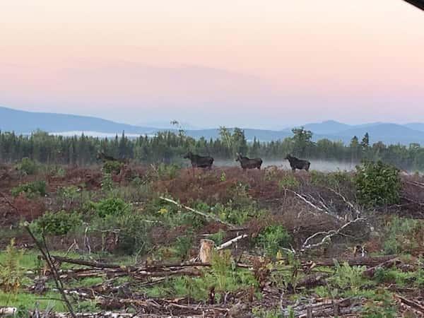 4 moose
