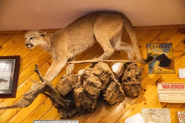 Mountain lion inside Michael's Bridge Diner
