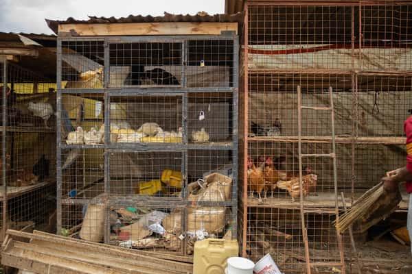 Ugandan Chickens