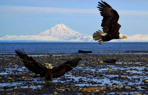alaskan eagles