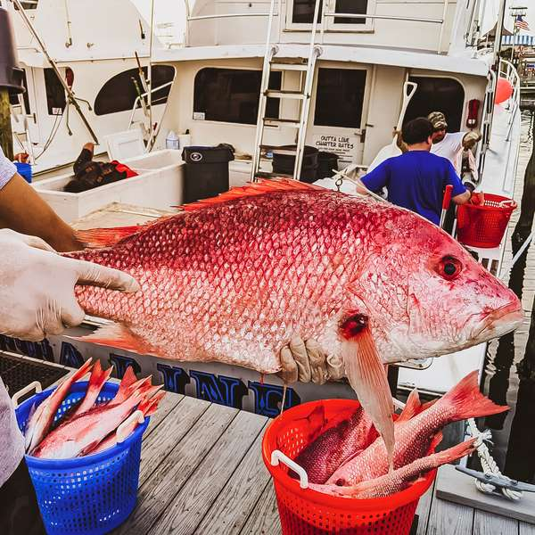Fresh Gulf Red Snapper