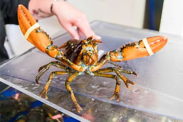 holding a lobster