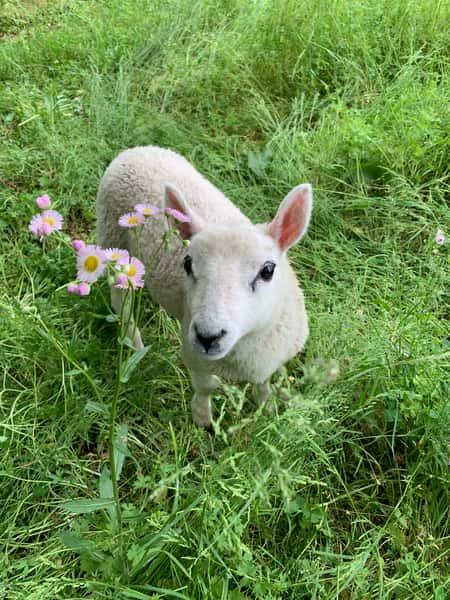 Bugsy the lamb