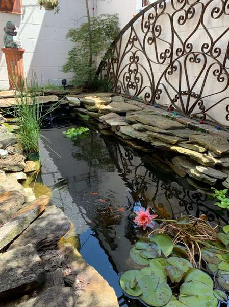 Koi Pond in the spring, with flowering water lily