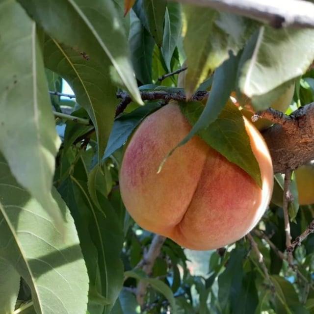 Tree Ripened Peaches